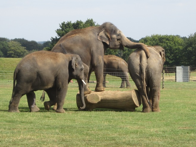 elephantsplaying